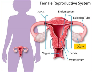 female-reproductive-system